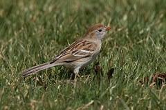 Field Sparrow (Jeremy Meyer) Tags: fieldsparrow field sparrow bird lakepark