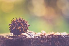 Jewel of the garden (RoCafe on/off) Tags: mm macromonday memberschoiceseeds seed garden outdoors bokeh nikkormicro105f28 nikond600 macro