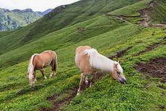 Cavalli liberi (cesco.pb) Tags: valdifassa valduron dolomiten dolomiti dolomites alps alpi trentino altoadige sudtirol trentinoaltoadige italia italy canon canoneos60d tamronsp1750mmf28xrdiiivcld