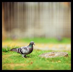 Pigeon (smadalin2012) Tags: hasselblad hasselblad203fe dallmeyer supersix 203mm 2032 movielens fujifilm velvia rvp100 film scanned mediumformat 6x6 bokeh pigeon spring hsinchu taiwan 鴿子 新竹