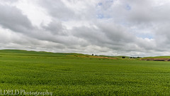 NT3.0033-CW1605618_38610 (LDELD) Tags: palouse uniontown washington unitedstates us wheat spring green