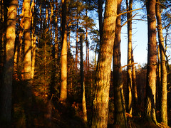 Winter light, The Hermitage, Dunkeld (Niall Corbet) Tags: scotland perthshire dunkeld hermitage nationaltrust nts winter pine forest light sunset