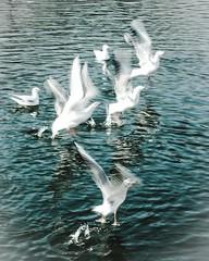 ..whiteness.. (dawn.tranter) Tags: water seagulls flight flutter wings feathers birds white whiteness dawntranter