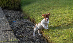 IMG_8525 (shonakelly1) Tags: pup puppy jack russell dog