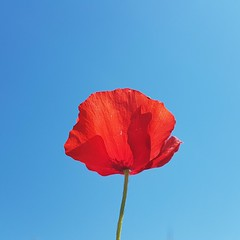 Coquelicot (srouve78) Tags: sky coquelicot fleur flowers nature poppies