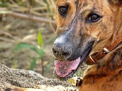 Hiro sabbia sul naso (dina.elle) Tags: hiro levriero galgo levrierospagnolo tigrato cucciolo adozione fiume sabbia naso felice giocare spagna adopt