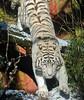 bengal tiger Amersfoort JN6A2928 (joankok) Tags: whitetiger tijger tiger wittetijger pantheratigristigris bengaltiger bengaalsetijger amersfoort predator kat cat zoogdier dier animal asia azie
