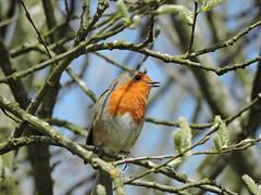 Robin (deannewildsmith) Tags: earthnaturelife staffordshire robin chasewater bird