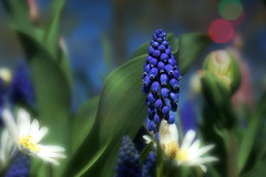 Muscari (Wim van Bezouw) Tags: muscari flower plant nature growth sony ilce7m2 bokeh