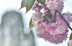 Cherry blossom (alcowp) Tags: tree blossom eglise church printemps spring rouen france