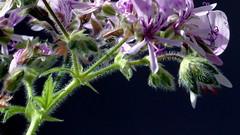 Pelargonium papilionaceum (Geraniaceae) (Ruissalo Botanic Garden, Turku, 20170415) (RainoL) Tags: 114369 2017 201704 april botanicalgarden cultivated egentligafinland fin finland flower flowers fz200 geo:lat=6043330832 geo:lon=2217333913 geotagged geraniaceae greenhouse indoors pelargonium pelargoniumpapilionaceum plant plants ruissalo ruissalobotanicgarden ruissalonkasvitieteellinenpuutarha runsala runsalabotaniskaträdgård spring turku varsinaissuomi åbo