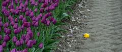 Fallen... (Hans Kool) Tags: tulipa netherlands bloembollen bulbs nederland bloei bollen holland perennial flora lentespring tulpen keukenhof tulips bloemen bloeien bollenvelden