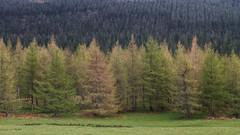 ... tree line ... (jane64pics) Tags: trees treeline tree ilovetrees fir firtrees green greenery wicklow janefriel janefriel2017 powerscourt cowicklow textures