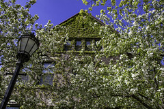 When it looks like the 19th century (aerojad) Tags: chicago spring flower flowers nature flora universityofchicago university windows window windo cherryblossom cherryblossoms blossom blossoms outdoors