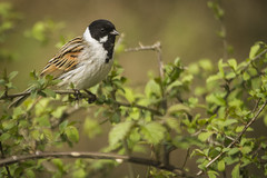 REED BUNTING (_jypictures) Tags: reed bunting reedbunting animalphotography animals animal canon canon7d canonphotography wildlife wildlifephotography wiltshire nature naturephotography jyphotography jypictures photography pictures