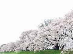 背割堤 ([M!chael]) Tags: iphone iphone6 cheery sakura japan kyoto 背割堤 cherry nature flower sewaritei