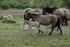 Konik horses with foal (madphotographers) Tags: konik konikpaarden oostvaardersplassen nature wild wilderness horses horse foal
