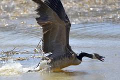 Lunging Goose (Buzz Hoffman) Tags: waterfowl bird minnesota whitewaterwildlifemanagementarea whitewaterriver dormanpool