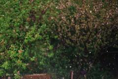 春·雨雨 (aboutKimmy) Tags: 35mm 自然 植物 春 雨 摄影 色彩