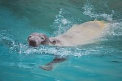 image (Eva O'Brien) Tags: bear pool animal animals swim zoo nikon wildlife conservation arctic polarbear lincolnparkzoo lincolnpark lincolnparkconservatory zooanimals zooanimal 55300mm d3100 nikond3100 evacares evaobrien