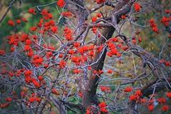 রক্তমন্দার (Raktamandar ) Botanical name :Erythrina stricta (Sougata2013) Tags: trees india mountain flower nature spring nikon hill april mandi hilltop himachalpradesh 2014 nikond3200 erythrinastricta raktamandar corkycoraltree রক্তমন্দার