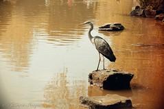Heron Aged (scotty NEX harper) Tags: house estate sony country manor cliveden sonynex3n