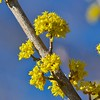 Cornus Mas Flowers (Distant Hill Gardens) Tags: dogwood shrub corneliancherry cornusmas cornus floweringshrub europeancornel