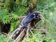 Tree Iguana (knightbefore_99) Tags: west tree cute fauna dark mexico coast pacific lizard mexican rings jungle iguana tropical zihuatanejo guerrero