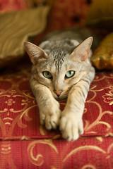 Kashmir (Christian Dionne) Tags: cats cat chats nikon chat kashmir nikkor f28 d800 2470mm
