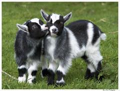 Kid Goat 1 010 (Brian Gort Wildlife Photography) Tags: red blackandwhite sun sunlight white black green eye grass sunshine fur born kid spring eyes nikon kiss ngc young goat nikkor catchlight nikond90