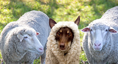 Day 5 of the infiltration: (aussiegall) Tags: dog wool ally sheep farm fleece wooly kelpie