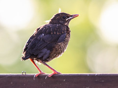 Just new! (Dick Verton ( more than 13.000.000 visitors )) Tags: holland bird nature dutch vogels newborn netherland joure frysland dickverton