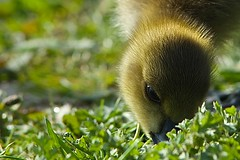Grazing gosling (Saul_Good) Tags: park country goose valley gosling wander shall gander rother goosey whither i paultyronethomas