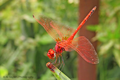 Crocothemis erytrhaea - Red Dragonfly (uvaisjm - Al Seylani Photography) Tags: macro closeup dragonfly insects