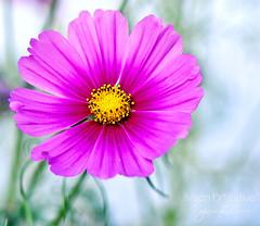 Cosmos bipinnatus ((Virginie Le Carré)) Tags: pink flower fleur rose bokhe