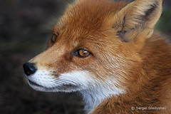 9Q3D8AKG4R7P0016 (rainmanh333998) Tags: wild portrait orange dog brown white macro male eye face smart animal closeup fur mammal amber furry wolf wildlife canine nopeople whiskers raptor fox beast wildanimal predator creature dodgy vertebrate redfox vulpesvulpes oneanimal canids blacknose lookingatcamera canidae eyetoeye wildbeauty