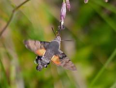 Hummingbird Hawkmoth (Macroglossum stellatarum) (berniedup) Tags: macroglossumstellatarum taxonomy:binomial=macroglossumstellatarum