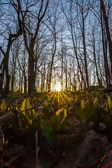 The Sun Giving Life (Steven Bruccoleri) Tags: life trees sunset plants sun sunlight canada forest soleil spring montreal mountroyal summitpark oldnew givinglife