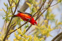 _53F9175 Scarlet Tanager (~ Michaela Sagatova ~) Tags: red ontario male dundas scarlettanager songbird pirangaolivacea dvca michaelafotheringham michaelasagatova
