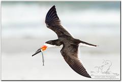 We Deliver! (mlibbe) Tags: nature birds florida wildlife flight birdinflight blackskimmer rynchopsniger pinellascounty wwwmichaellibbephotographycom