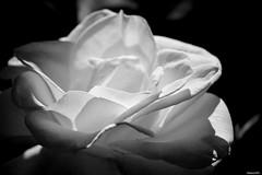 Mothers Day 2014. (Eugene1959) Tags: myfrontyard experimentations flowersandmacros nikond3100 bwandsepiatones mothersday2014