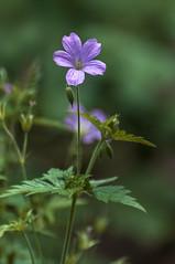 Geranium Endressii Wargrave Pink (pollylew) Tags: flower pinkflower cranesbill hardygeranium frenchgeranium geraniumendressii