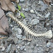 Skeleton of dead fish on path at Sungei Buloh Wetland Reserve