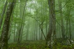 Green forest II (Ahio) Tags: mist tree verde green landscape air may paisaje árbol niebla 2012 haya fagus bosques fagussylvatica hayedo 31mm piloña smcpentaxfa31mmf18allimited pentaxk5 montesdelinfierno montecorbera