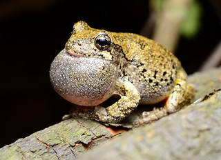 Gray Tree Frog calling