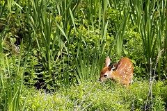 Visit from baby (kimberley. Finding art in nature) Tags: baby nature fauna pennsylvania deer fawn wetlands clarkssummit pentaxk30 southabingtontownship