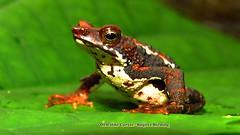 Endemic, (Atelopus laetissimus) -Santa marta stubfoot toad)- frogging at Sierra Nevada de Santa (OSWALDO CORTES -Bogota Birding and Birdwatching Co) Tags: endemic atelopuslaetissimussantamartastubfoottoadfroggingatsierranevadadesanta