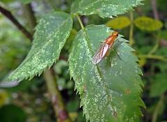 A Bit Rusty (Bricheno) Tags: macro insect scotland fly escocia szkocja renfrew schottland scozia cosse  esccia   psilidae bricheno psilafimetaria scoia