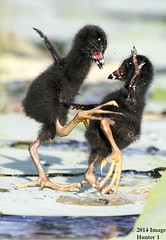 Purple Gallinule Chicks Ninja Training - Miller's Lake, Louisiana (Image Hunter 1) Tags: black green feet nature water birds droplets drops fight wings louisiana kayak fuzzy wildlife bayou kayaking swamp greenery chicks marsh splash lilypad purplegallinule juveniles millerslake canoneos7d magicunicornverybest magicunicornmasterpiece