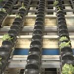 Chaine de conditionnement de l'artichaut à Lédénez